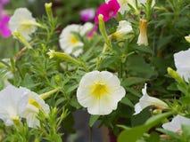 Gocce di pioggia sull'attaccatura gialla bianca del fiore della petunia Fotografie Stock