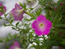 Gocce di pioggia sull'attaccatura rosa del fiore della petunia Fotografia Stock
