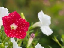 Gocce di pioggia sull'attaccatura rossa del fiore della petunia Fotografia Stock Libera da Diritti