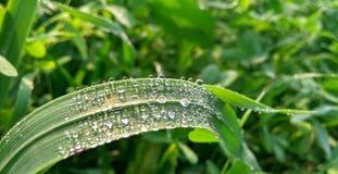 Gocce di pioggia sulla foglia del grano immagini stock