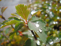Gocce di pioggia sulle foglie Fotografie Stock