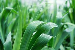 Gocce di pioggia sulle foglie Immagini Stock Libere da Diritti