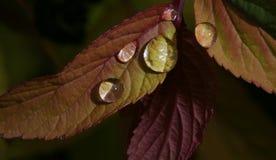 Gocce di pioggia sulle foglie Fotografia Stock