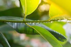 Gocce di pioggia sulle foglie che appendono sul piccolo ramo con le luci dal sole Fotografia Stock Libera da Diritti