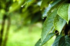 Gocce di pioggia sulle foglie del ciliegio immagini stock libere da diritti