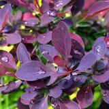 Gocce di pioggia sulle foglie del crespino Immagini Stock Libere da Diritti