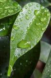 Gocce di pioggia sulle foglie di benjamin di ficus Immagini Stock Libere da Diritti
