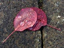 Gocce di pioggia sulle foglie fumose dell'albero Immagine Stock