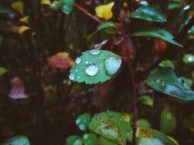 Gocce di pioggia sulle foglie nella foresta Immagini Stock Libere da Diritti