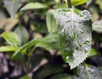 Gocce di pioggia sulle foglie verdi bagnate Fotografie Stock