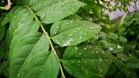 Gocce di pioggia sulle foglie verdi dell'uva spina video d archivio