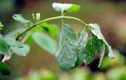 Gocce di pioggia sulle prime foglie Fotografia Stock