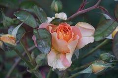 Gocce di pioggia sulle rose: Montaggio del fiore di Colorado immagini stock