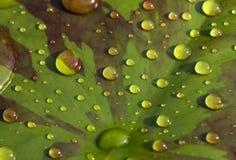 Gocce di pioggia waterlily sulla foglia Fotografie Stock Libere da Diritti