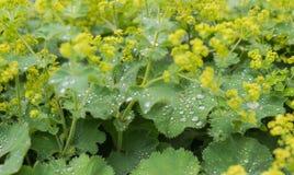 Gocce di rugiada argentee che scintillano sulle foglie del velluto Fotografia Stock Libera da Diritti