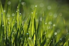 Gocce di rugiada di mattina e dell'erba Immagine Stock Libera da Diritti