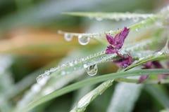 Gocce di rugiada di mattina su erba e sul fiore Fotografia Stock