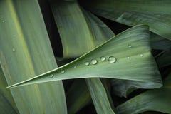 Gocce di rugiada frizzanti sulla foglia della pianta verde Immagini Stock