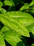Gocce di rugiada pulite sulle foglie verdi fresche fotografia stock