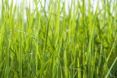 Gocce di rugiada su erba verde intenso fotografie stock