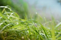 Gocce di rugiada su un'erba verde Fotografia Stock