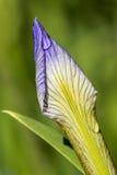 Gocce di rugiada su un germoglio di fiore dell'iride di Blueflag Fotografia Stock Libera da Diritti