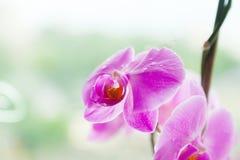 Gocce di rugiada su un'orchidea lilla Fotografie Stock