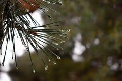 Gocce di rugiada su un pino fotografia stock
