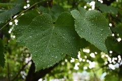 Gocce di rugiada su una foglia di vite verde dopo la molla meravigliosamente piacevole fresca di estate dell'aria della pioggia Fotografia Stock Libera da Diritti