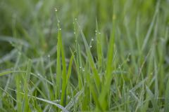 Gocce di rugiada sui fogli verdi fotografia stock