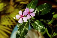 Gocce di rugiada sul fiore fotografia stock