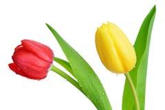 Gocce di rugiada sul tulipano rosso e giallo Fotografia Stock Libera da Diritti