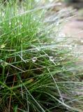 Gocce di rugiada sull'erba di bacchetta Fotografia Stock Libera da Diritti