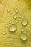 Gocce di rugiada sulla foglia dell'albero di biloba del Gingko Fotografie Stock