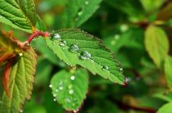 Gocce di rugiada sulle foglie Immagini Stock Libere da Diritti