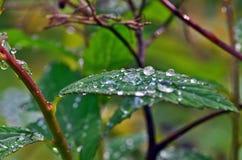 Gocce di rugiada sulle foglie Fotografia Stock Libera da Diritti