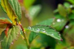 Gocce di rugiada sulle foglie Immagini Stock