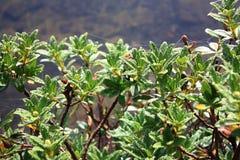 Gocce di rugiada sulle foglie di alpenrose Fotografia Stock