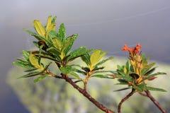 Gocce di rugiada sulle foglie di alpenrose Immagine Stock