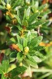 Gocce di rugiada sulle foglie di alpenrose Fotografie Stock