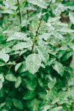 Gocce di rugiada sulle foglie verdi Concetto di giorno di terra Fotografie Stock Libere da Diritti