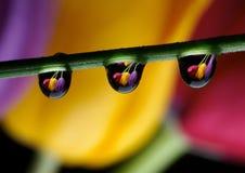Gocce e tulipani Fotografia Stock Libera da Diritti