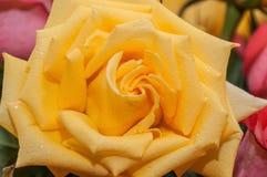 Gocce gialle dell'acqua di rose Fotografia Stock
