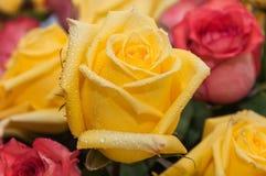 Gocce gialle dell'acqua di rose Fotografia Stock Libera da Diritti