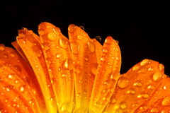 Gocce a macroistruzione dell'acqua del fiore arancione Immagini Stock
