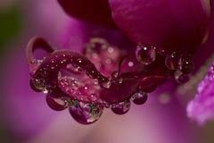 Gocce rosso scuro dell'acqua e dell'orchidea Immagini Stock