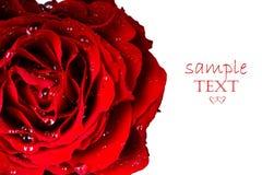 Gocce su una Rosa rossa immagine stock