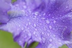 Gocce sui petali dei fiori Immagine Stock