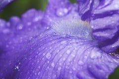 Gocce sui petali dei fiori Fotografie Stock