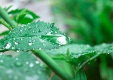 Gocce sul foglio verde Fotografia Stock Libera da Diritti
